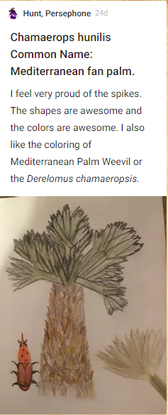 Persephone Hunt, Chamaerops hunilis, common name: Mediterranean fan palm. I feel very proud of the spikes. The shapes are awesome. I also like the coloring of the Mediterranean Palm Weevil or the deleromus chamaeropsis. Drawing of palm and weevil.